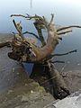 Root in water.jpg