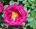 Rosa 'Gipsy Boy' JBM.jpg
