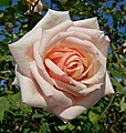 Rosa Catherine Mermet 1.jpg