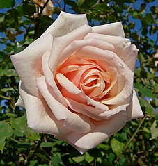 Catherine Mermet tea rose, from Wikimedia Commons