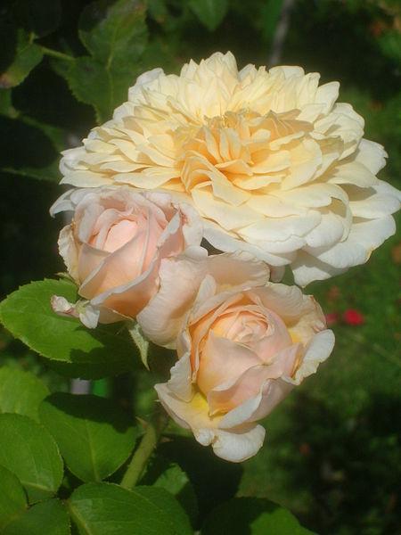 File:Rosa English Garden 01.jpg
