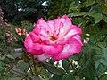 Rosa Handel 2018-07-10 5960.jpg