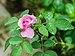 Rosa chinensis 04-08-2012 02.jpg