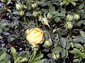 Rosa foetida Persian Yellow 2zz.jpg