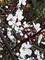 Rosales - Prunus cerasifera - 5.jpg