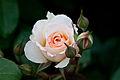 Rose, Moonsprite - Flickr - nekonomania (5).jpg