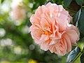 Rose, Sangerhauser Jubilaumsrose, バラ, ザンガーハウザー ユビレウムスローゼ, (15348379500).jpg