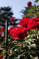 Rose, Trumpeter - Flickr - nekonomania (7).jpg