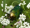 Rose Chafer. Cetonia aurata. (16277366041).jpg