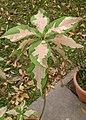 Rosea Variegata (Graptophyllum pictum 'Roseum Variegatum') 1.jpg