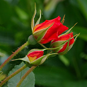 Rose - Exterior view of rose buds