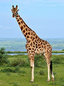 Rothschild's Giraffe (Giraffa camelopardalis rothschildi) male (7068054987), crop & edit.jpg