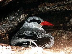 Red-billed tropicbird - Image: Rotschnabeltropikvog el 8 7 2008 Abrolhos (R.Graf)