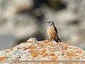 Rufous-tailed Rock-thrush (Monticola saxitilis) (38212863271).jpg