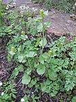 Ruhland, Grenzstr. 3, Knoblauchsrauke im Garten, Pflanze mit Blütennospen, Frühling.jpg