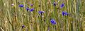 Rukilill - Centaurea cyanus.jpg