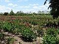 Ruston's Rose garden 1.JPG