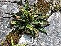 Rustyback Ceterach officinarum (6165555817).jpg