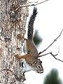 SQUIRREL, RED (Tamiasciurus hudsonicus) (8-20-12) just east of wolf creek pass, co- 06 (7909731110).jpg