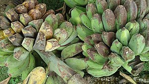 Cooking banana - Saba bananas – Musa 'Saba' (ABB Group)