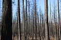 Sad to see dead forests on Rim Fire - Flickr - daveynin.jpg