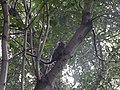 Sagui em árvore.jpg