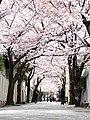 Sakura Road - panoramio.jpg
