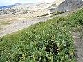 Salix eastwoodiae (24247028599).jpg