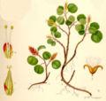 Salix herbacea dvärgvide.jpg
