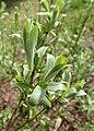 Salix lapponum kz22.jpg