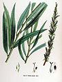 Salix rubra — Flora Batava — Volume v17.jpg