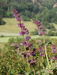 Salvia verticillata 240606