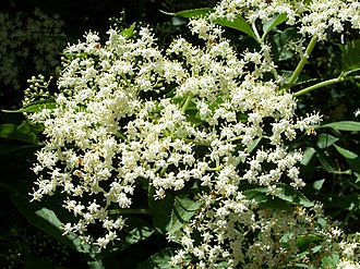 Corymb - Image: Sambucus nigra 003