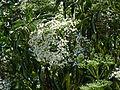 Sambucus nigra L.JPG