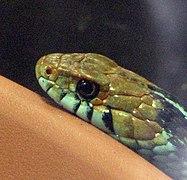San Francisco Garter Snake (2058063392).jpg