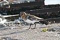 Sanderling (Calidris alba) (3972937672).jpg