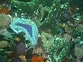 Sandy anemones at Roman Rock DSC09974.JPG