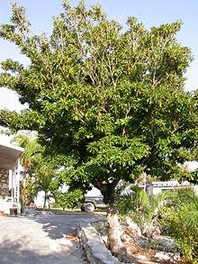 Naseberry tree<br />