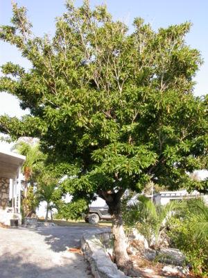 Manilkara zapota - Sapodilla tree.