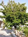 Sapodilla tree.jpg