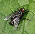 Sarcophaga sp. - a flesh fly - Flickr - S. Rae.jpg