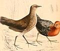 Sarothrura rufa rufa 1838 (cropped).jpg