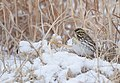 Savannah Sparrow (31390143734).jpg
