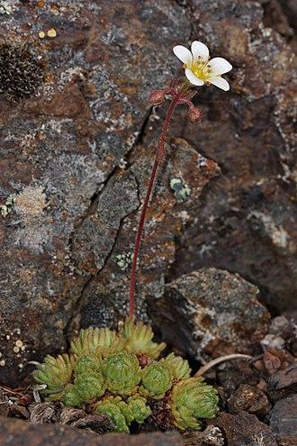 Saxifraga cespitosa - Image: Saxifraga cespitosa 4759