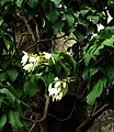 Schizophragma integrifolia - Flickr - peganum.jpg