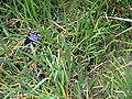 Schizostylis coccinea foliage DUBG 2009-06-03.jpg