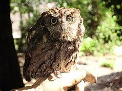 Screech owl (Megascops sp.)