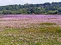 Sea Pinks on merse land - geograph.org.uk - 1274076.jpg