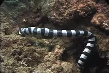 קובץ:Sea Snake eating Moray Eel, Fiji (Laticauda colubrina vs. Gymnothorax sp.).webm