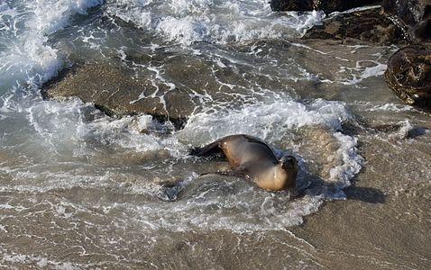 Sea lion on the beach in La Jolla